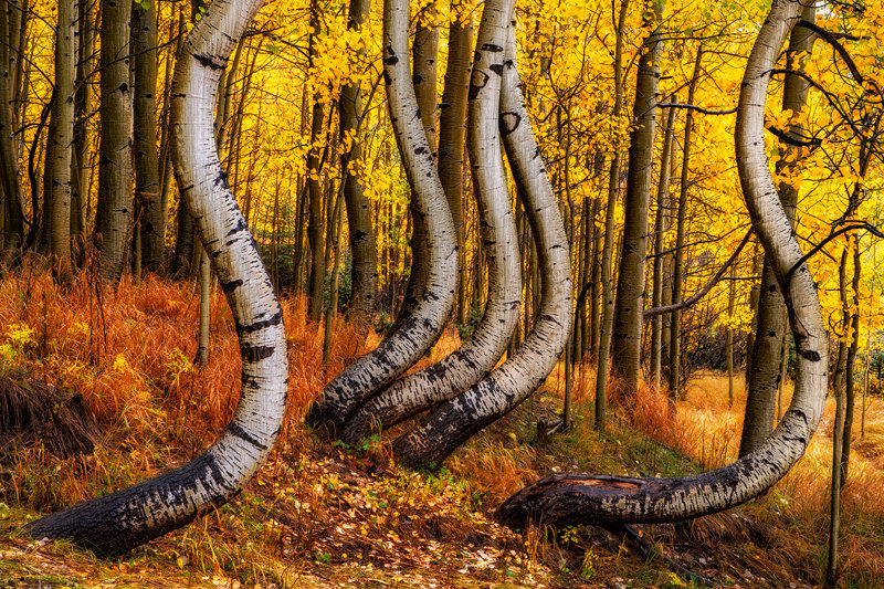"12"" x 18"" METAL PRINT of Curved Fall Foliage, Colorado"