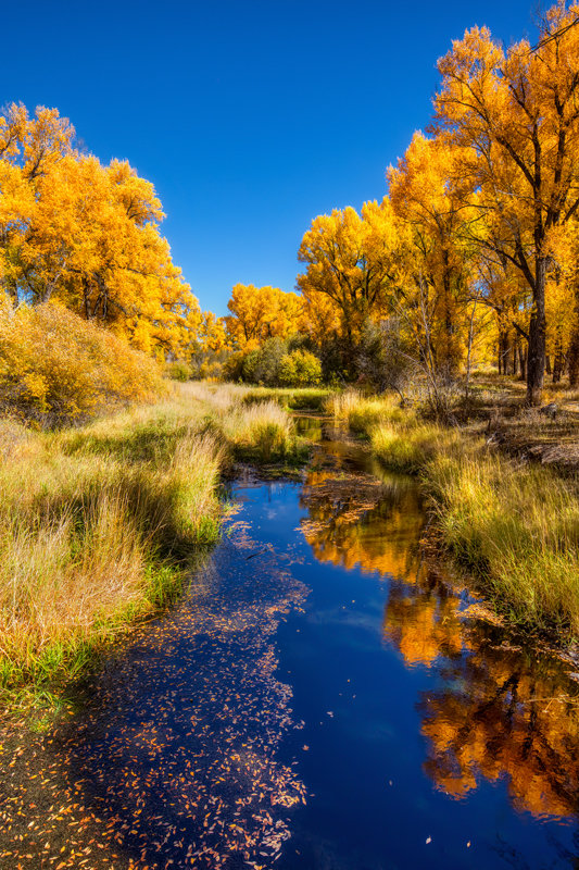 "24"" x 36"" Canvas Wrap of Gunnison Fall Foliage, Colorado"