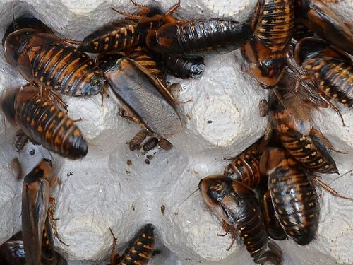 10/30 Adult Dubia Roaches D-lg40