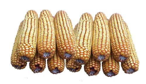 20 lb Bulk (no bags) case of ear corn 20lbbulk