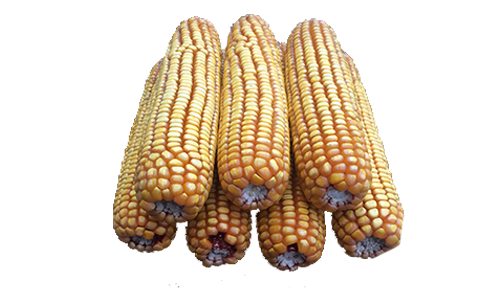 10 lb Bulk (no bags) case of ear corn 10lbbulk