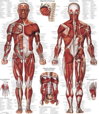 Anatomical Charts & Posters