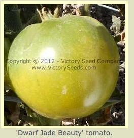 Dwarf Jade beauty - Dwarf- Verte