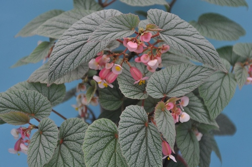 Begonia 'Sinbad' 00025