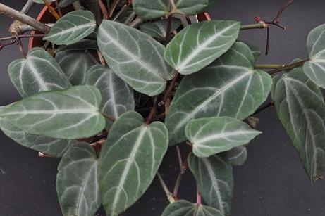 Cissus amazonica 00189