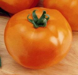 Sunny Goliath Tomato Plant