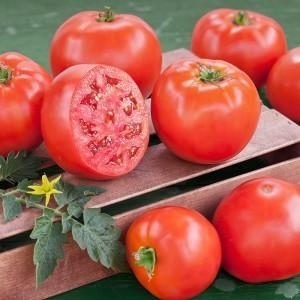 Bush Goliath Tomato Plant
