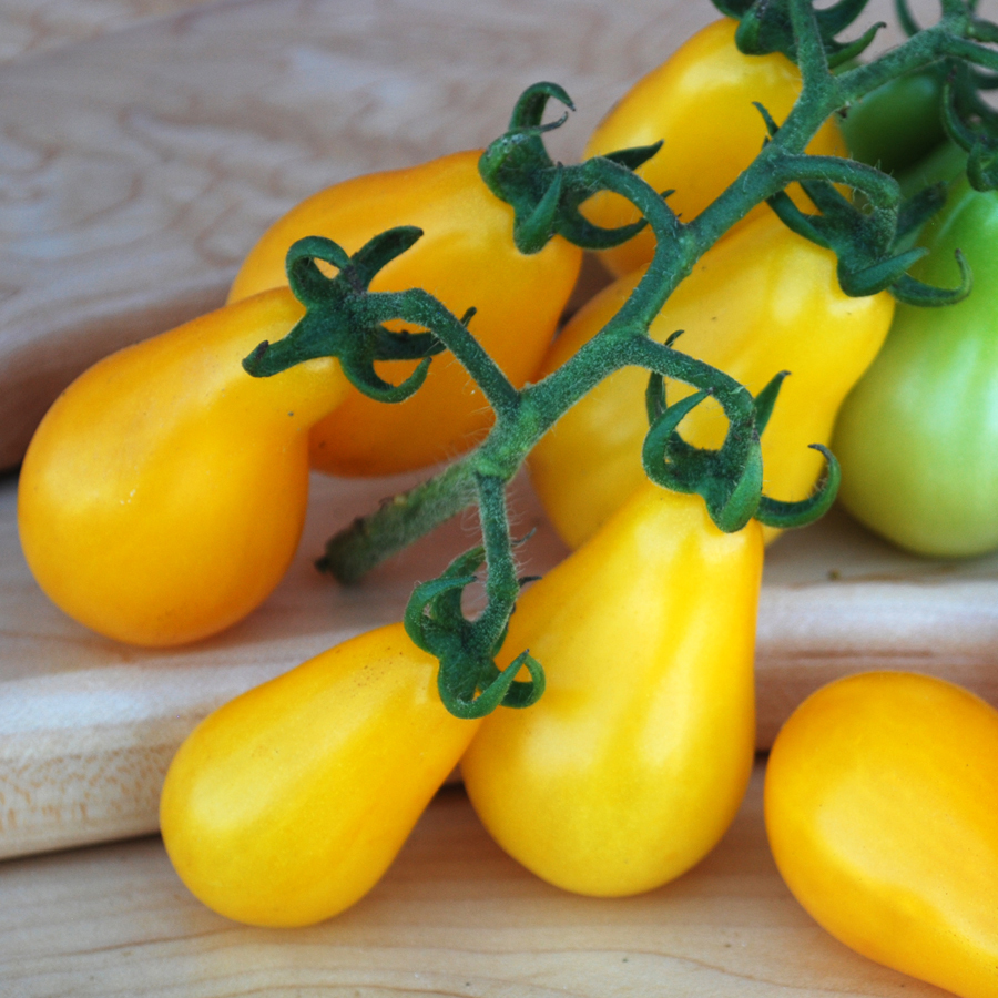 Yellow Pear Tomato Plant