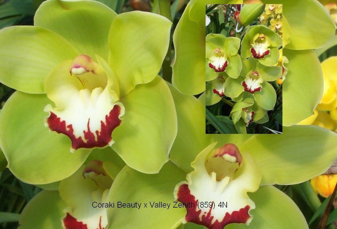 Cym (Coraki Beauty x Valley Zenith)