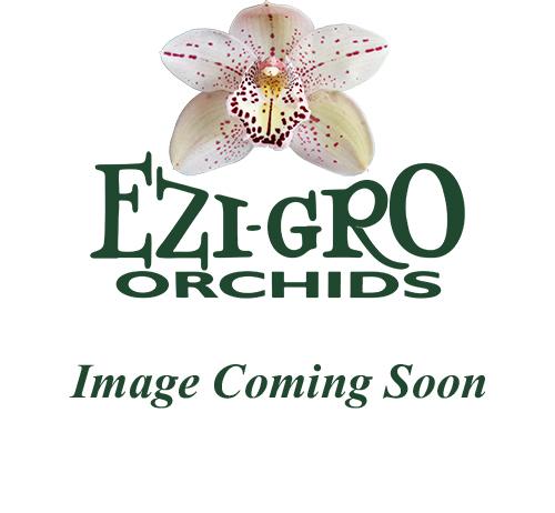 Enzan Summer 'March Daffodil' x Choc 'Spotlight'