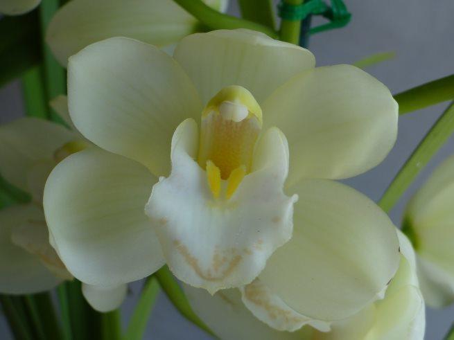 Sarah Jean 'Ice Cascade' x Beau Guest 'Daffodil'