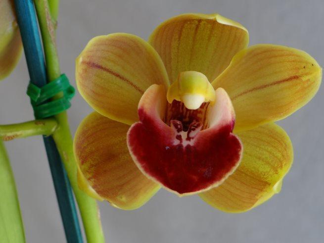 Touchstone 'Janis' 4n x Beau Guest 'Daffodil'