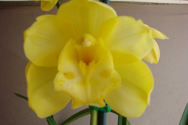 (One Tree Hill x Sleeping Dream) 'Golden Delight' x Beau Guest 'Daffodil'