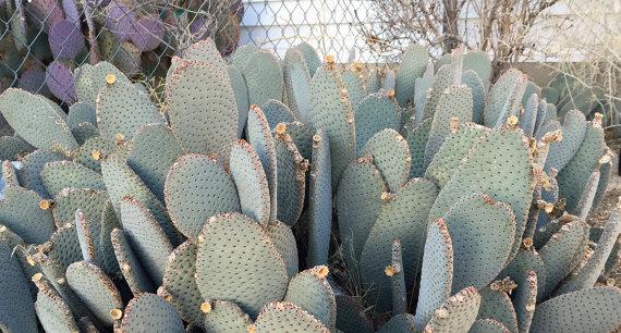 Opuntia Basilaris - Beavertail Cactus