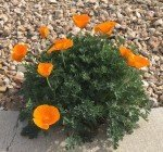 California Poppy 00015