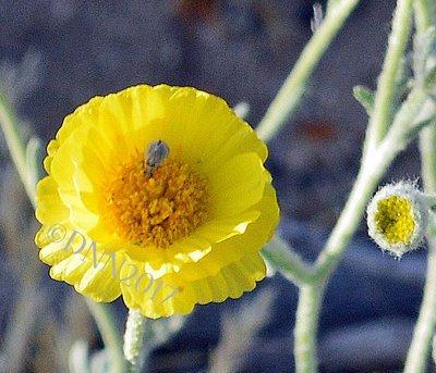 Desert Marigold SOLD OUT