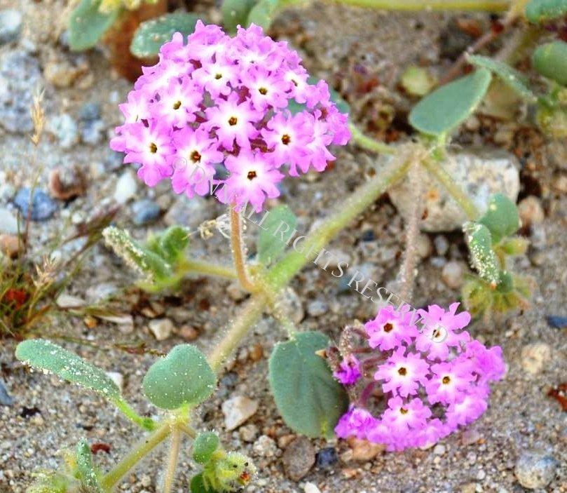 Sand Verbena 00043