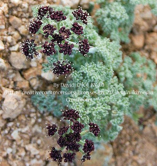 Desert Parsley