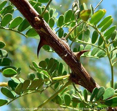 Cat-Claw Acacia
