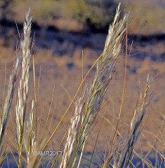 Desert Needle Grass 00064