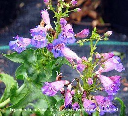 Mojave Penstemon 00074