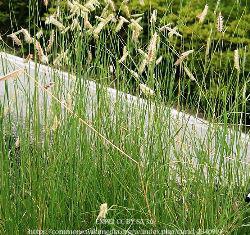 Blue Grama Grass 00076