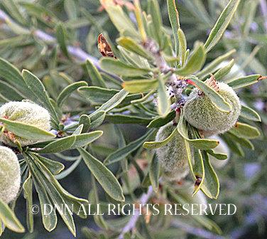 Desert Almond