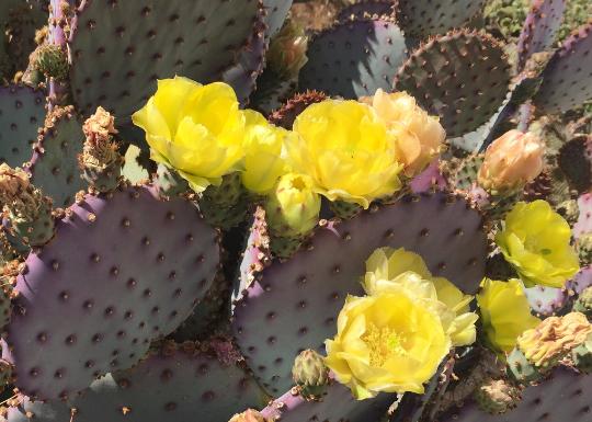 Purple Opuntia Cactus