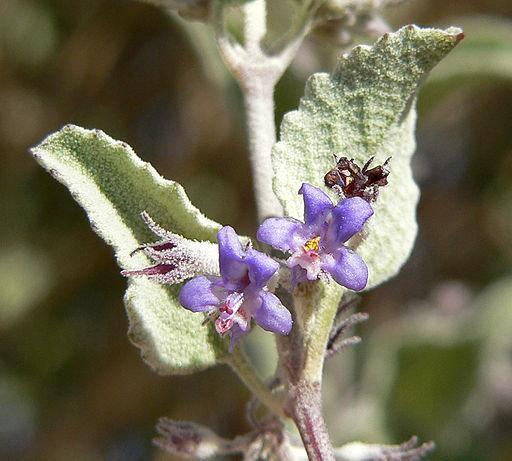 Desert Lavender 00135