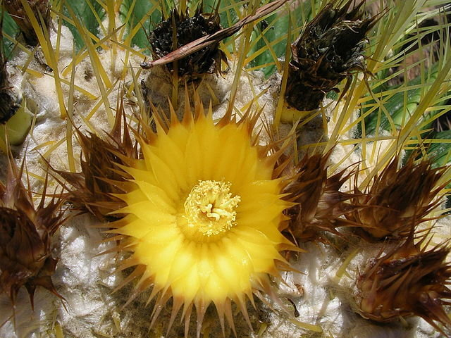 Golden Barrel Cactus  6 inch