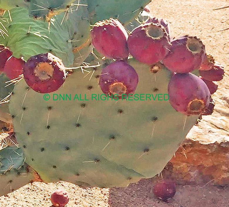 Dinner Plate Cactus -Seed 00145