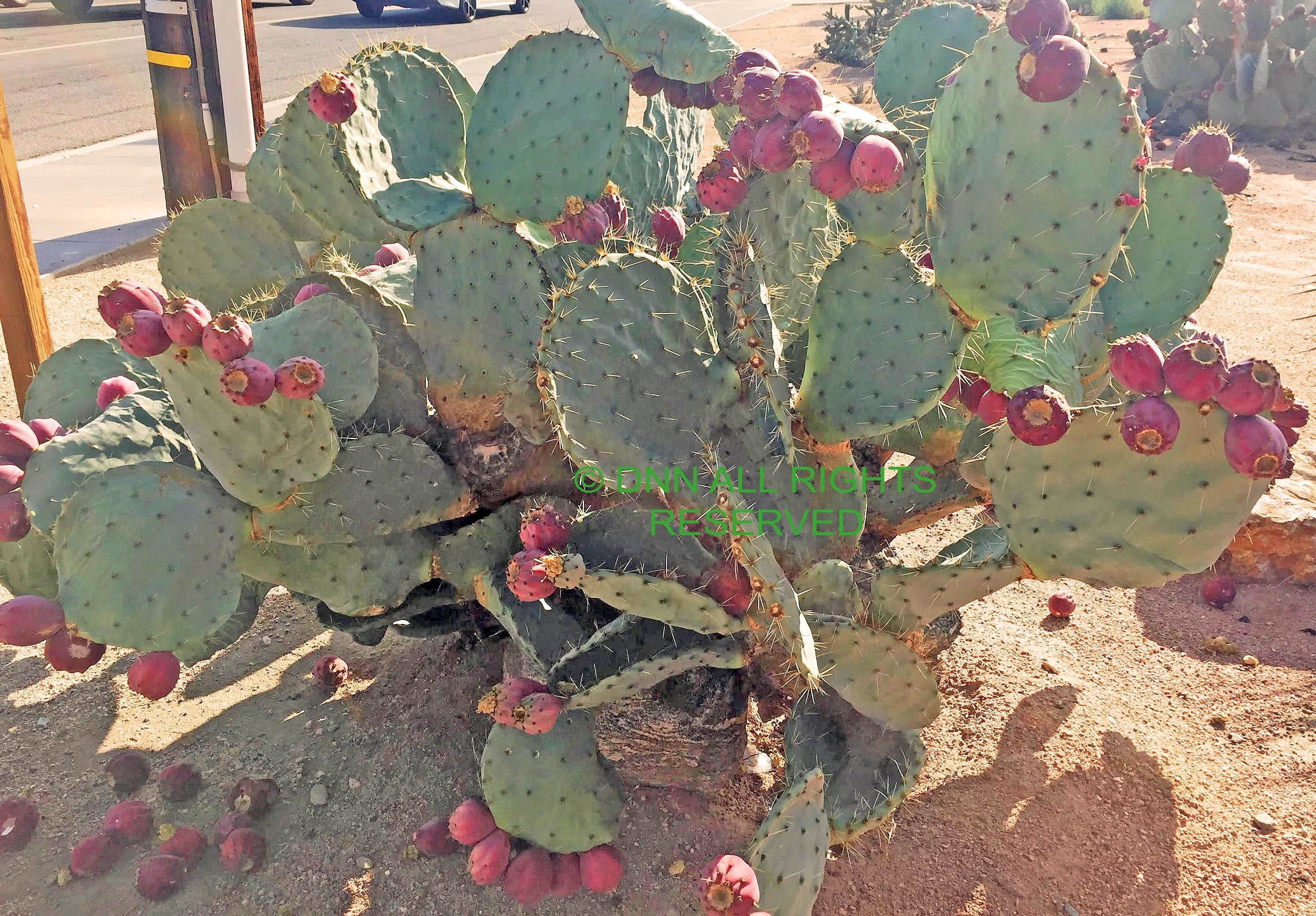 Young Dinner Plate Cactus