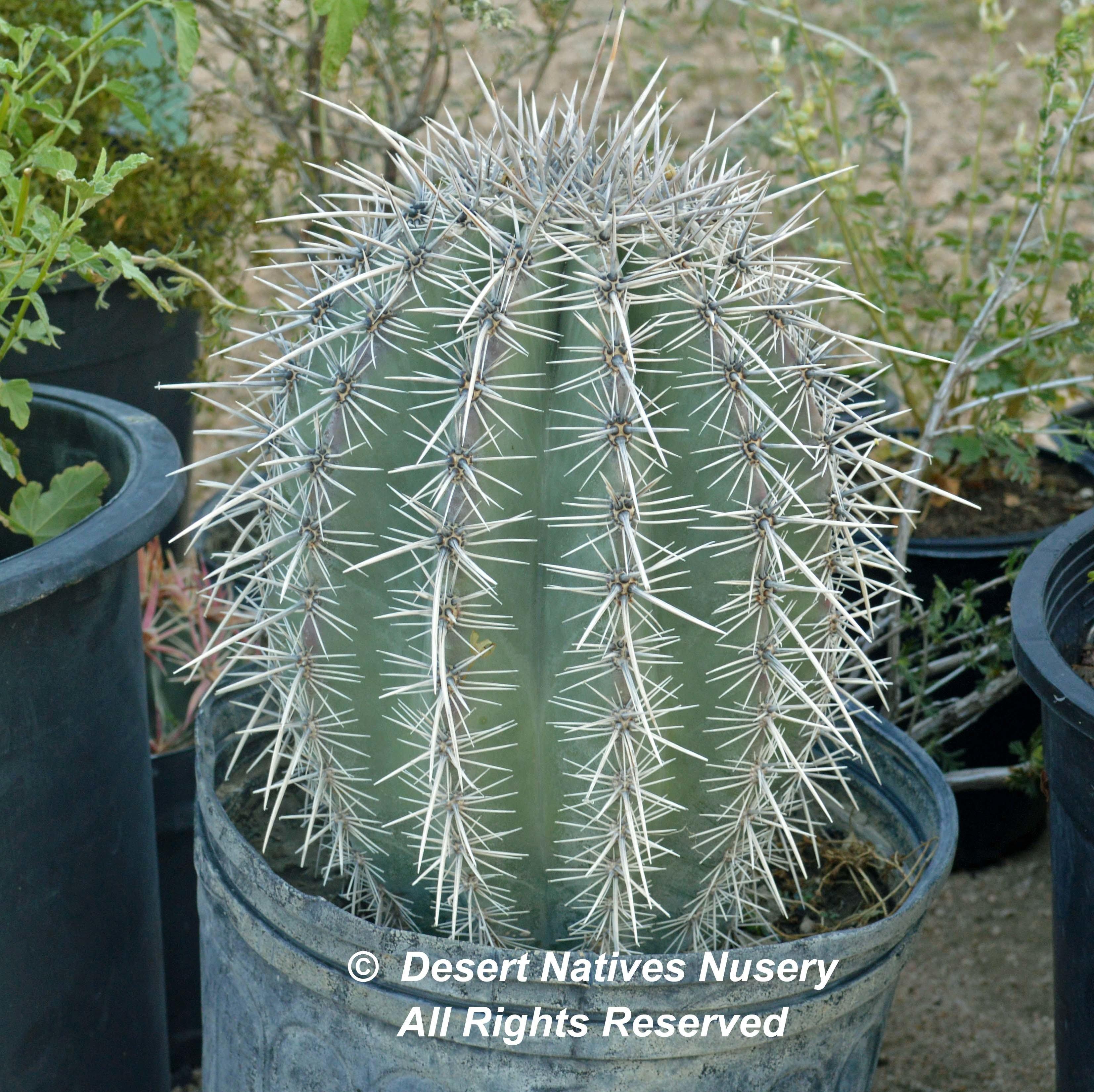 Saguaro Cactus 00172