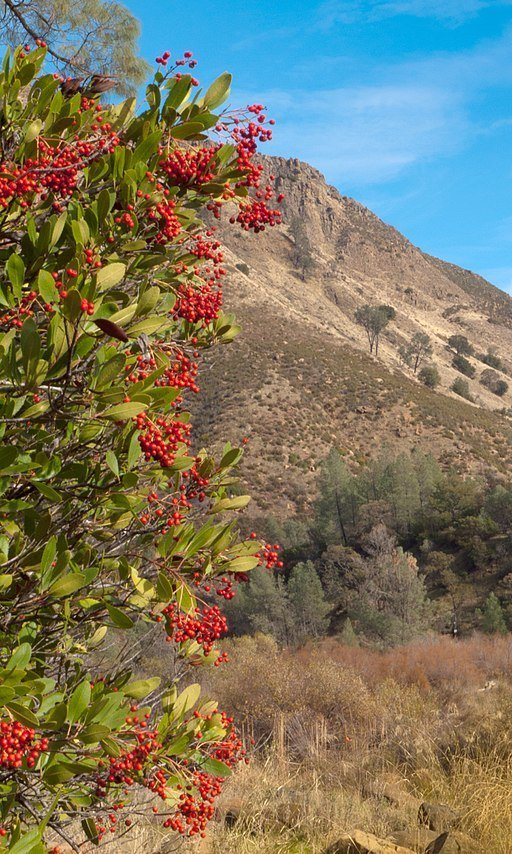 Toyon SOLD OUT
