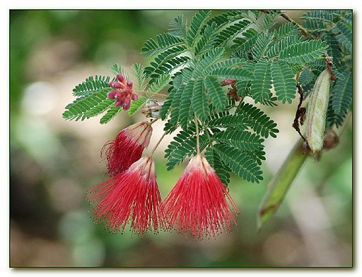 Red (Baja) Fairy Duster