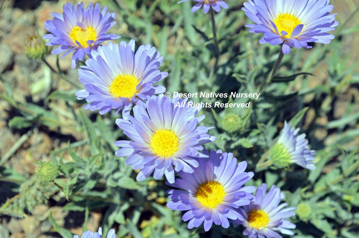 Mojave Aster SOLD OUT