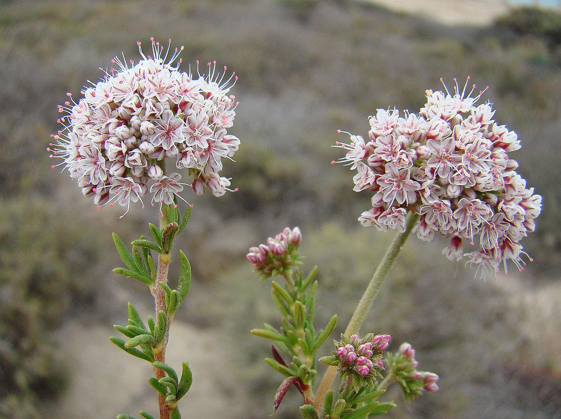 Caliifornia Buckwheat
