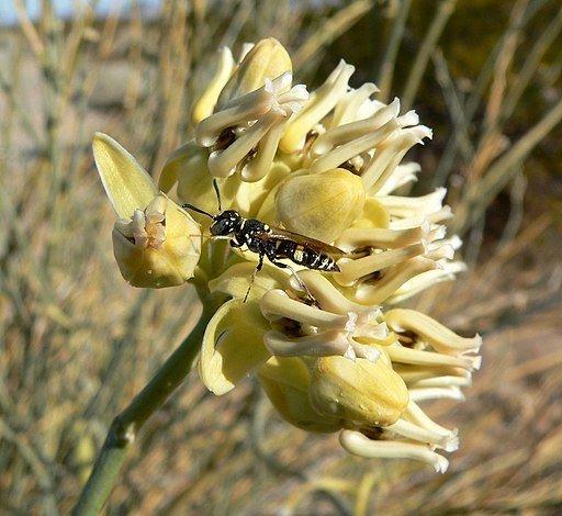Desert Milkweed