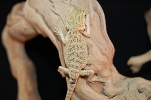 Male 100% DH hypo translucent 50% het Witblits