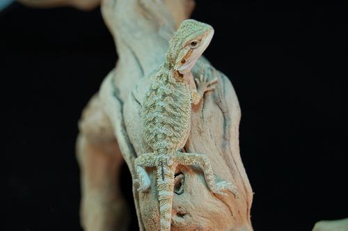 Female 100% DH hypo translucent 50% het Witblits