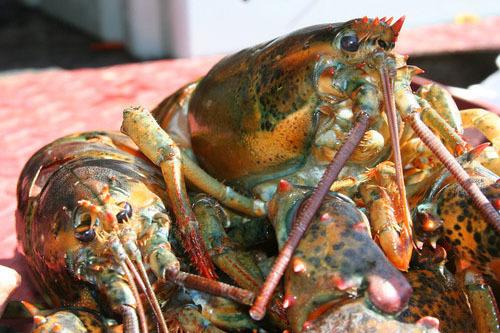 Live Lobster 00000