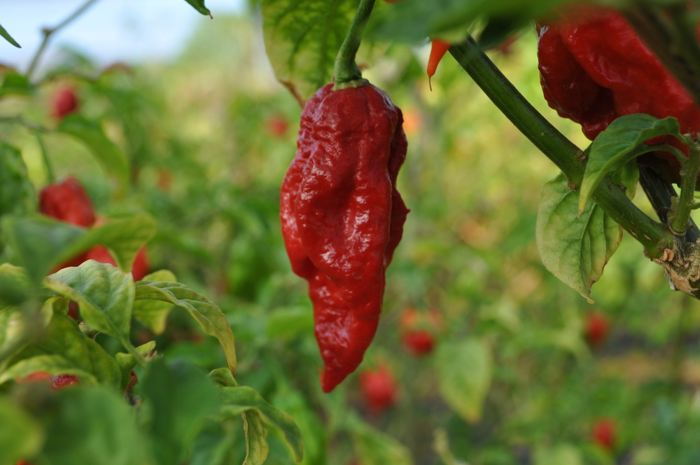 Ghost Pepper Pods 100gr