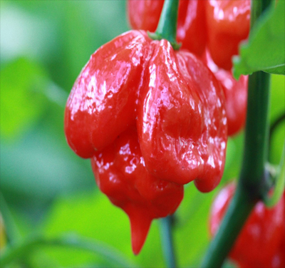 Trinidad Scorpion Red 100grs