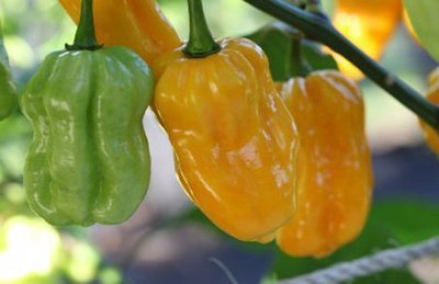 Habanero Yellow Pods 100gr