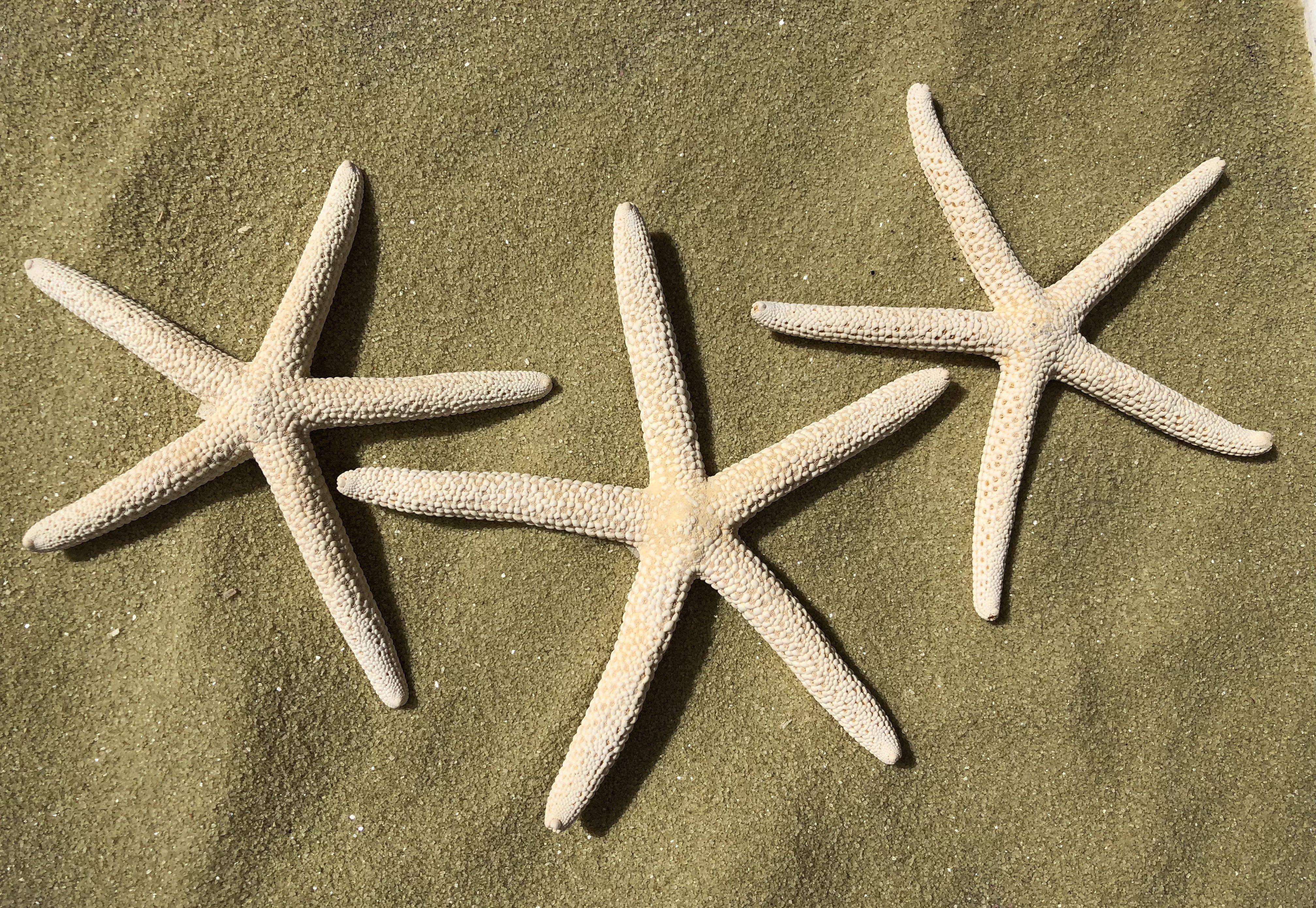 """3""""+ Starfish (3-Pack) 10021"""