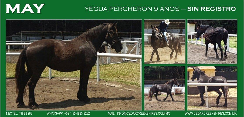 Yegua Percheron