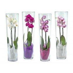 ORCHIDEA SINGOLA - Specifica in fase di ordine il colore (BIANCA, ROSA, VERDEGIALLA, SCREZIATA)