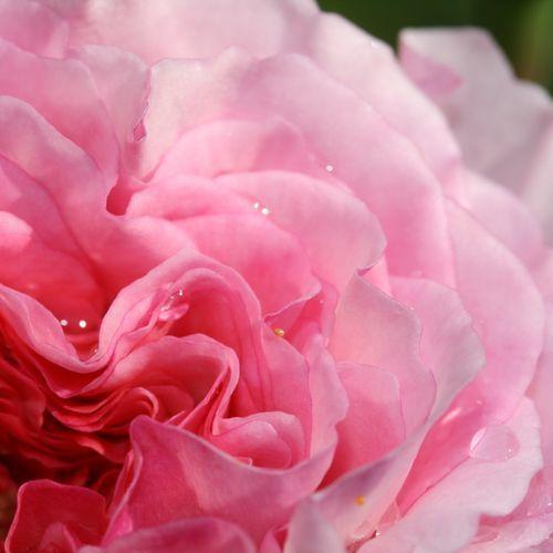 Bio Májusi rózsa hidrolátum - limitált kiadás 00160