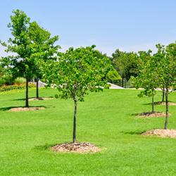 15 Gallon Tree