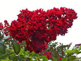 Dynamite Red Crape Myrtle Aprox. 1-2 Ft Click Picture for More pricing and Size Options